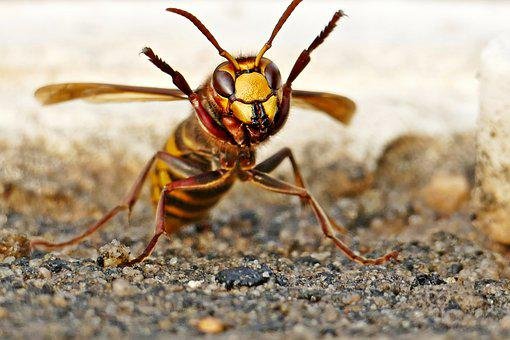 Hornet, Insect, Ground, Wasp, Garden, Nature