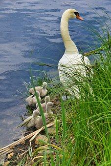Swan, Ducklings, Babies, Water Bird, Bank