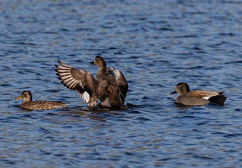 Gadwall, Gadwall Duck, Waterfowl, Hunting, Bird