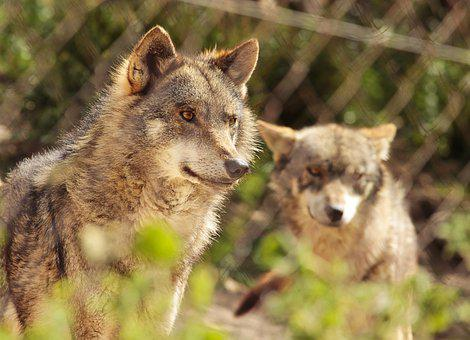 Wolves, Canis Lupus, Caged, Zoo, Predators, Fierce