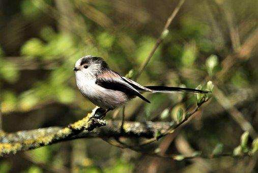 Long-tailed Tit, Bird, Small Bird, Perched Bird, Ave