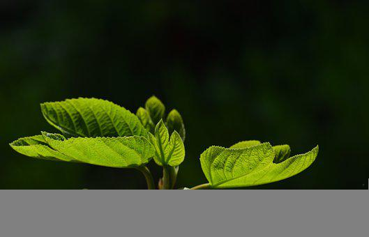 Leaves, Fig Leaves, Foliage, Green Leaves, Nature