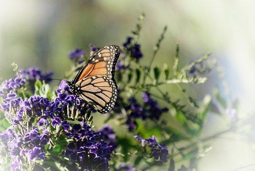 Butterfly, Monarch, Flowers, Purple Flowers, Wings