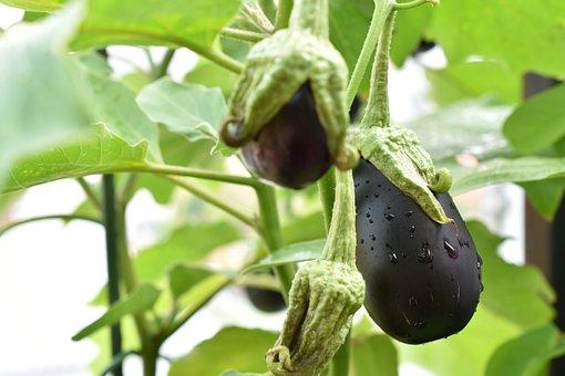 Eggplant, Fruits, Plant, Vegetable, Food, Organic