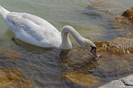 Swan, Bird, Feather, Neck, Beak, White Swan, Anatidae