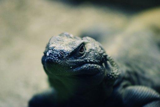 Lizard, Head, Reptile, Nature, Outdoor, Scaly, Wild