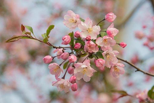Apple Blossoms, Flowers, Pink Flowers, Pink Petals