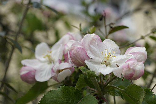 Apple, Flowers, Plant, Petals, Leaves, Bloom