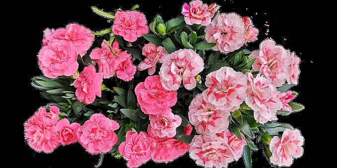 Carnation, Flowers, Plant, Pink Flowers, Petals, Leaves