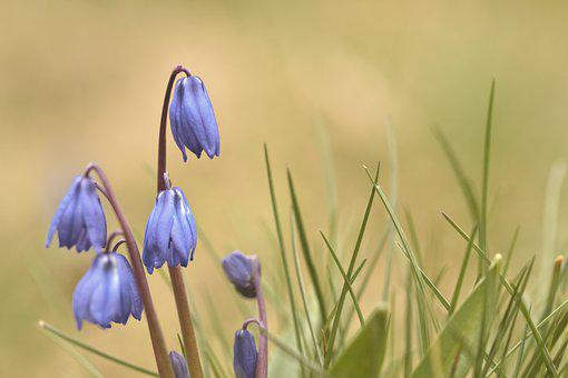 Squill, Flowers, Plant, Blue Flowers, Scilla, Spring
