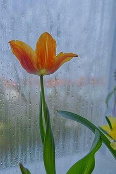 Tulip, Flower, Window, Plant, Petals, Bloom, Rain