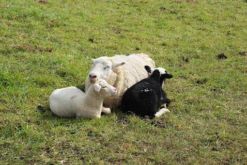 Pasture, Sheep, Mother Sheep, Lambs, Lamb, Wool