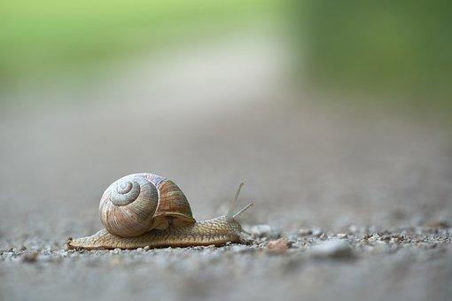 Snail, Shell, Animal, Mollusc, Invertebrate, Slow