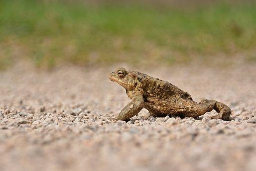 Toad, Animal, Ground, Common Toad, Amphibian, Wildlife