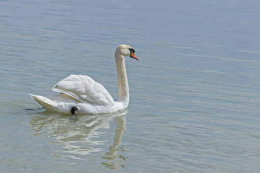Swan, Bird, Feathers, Beak, White Swan, Waterfowl
