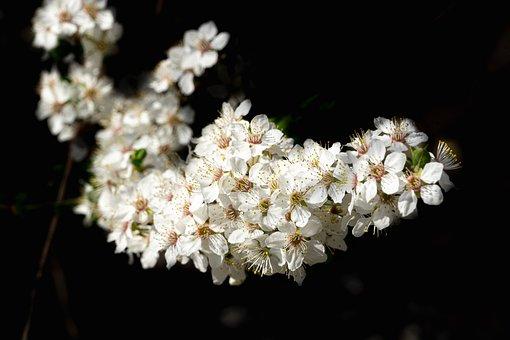 White, Flowers, Bloom, Blossom, Flora, White Flowers