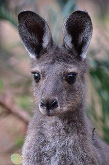 Kangaroo, Joey, Australia, Marsupial, Wildlife, Animal