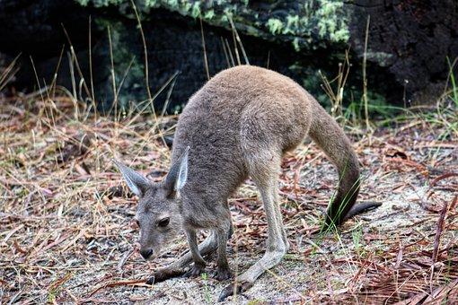 Kangaroo, Joey, Australia, Marsupial, Wildlife, Nature