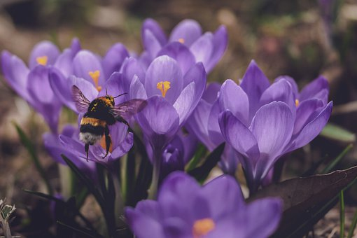 Crocuses, Flowers, Bee, Insect, Autumn Crocus