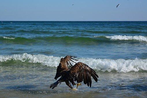 White Tailed Eagle, Baltic Sea, Bird Of Prey, Flight