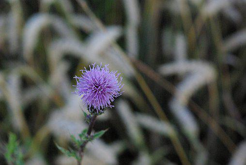 Nature, Thistle, Close Up, Blossom, Bloom, Wild Plants