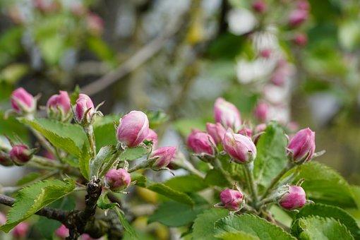 Rose Buds, Apple Buds, Spring, Bud, Tree, Bloom