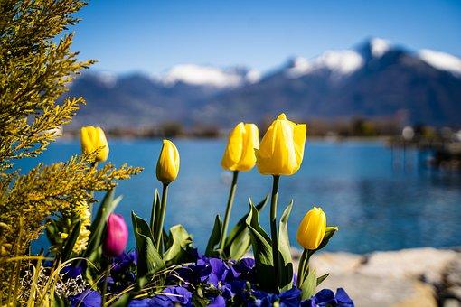 Tulips, Flowers, Bloom, Blossom, Flora, Nature, Plants