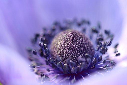 Crown Anemone, Blue, Pollen, Blossom, Bloom, Flower