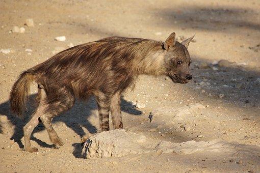 Brown Hyena, Hyena, Predator, Africa, Dangerous, Animal