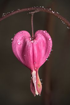 Bleeding Heart, Flower, Pink, Dew, Dewdrops