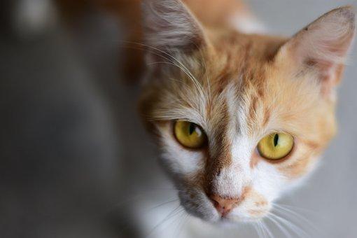 Cat, Orange Cat, Face, Animal, Animal World, Head
