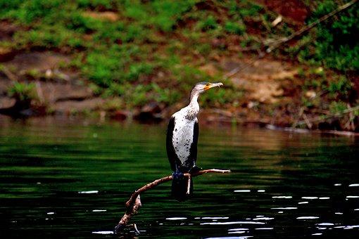 Cormorant, Bird, Water, Nature, Fauna, Wildlife