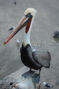 Pelican, Bird, Beak, Feathers, Plumage, Ave, Avian