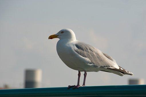 Seagull, Bird, Feathers, Plumage, Seabird, Water Bird