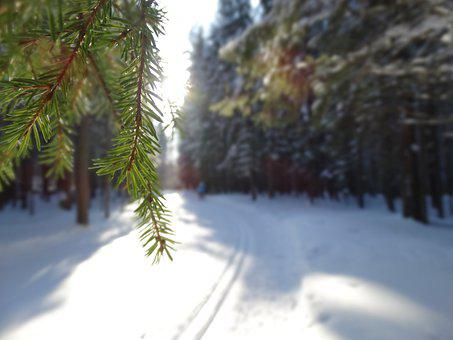 Spruce, Trees, Trail, Forest, Branch, Snow, Cold