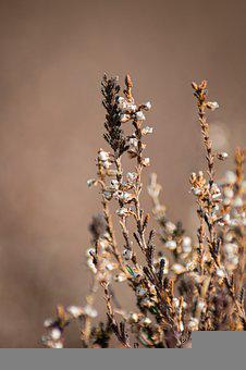 Heather, Flowers, Withered, Dry, Dried, Flora, Plant