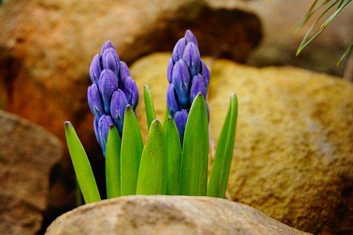 Flowers, Hyacinth, Plants, Hyacinthus, Violet, Fragrant