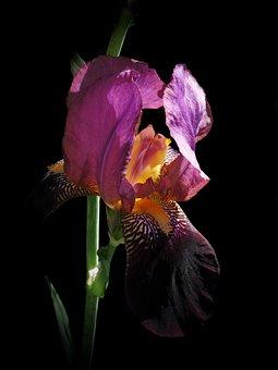 Iris, Flower, Blossom, Bloom, Iris Flower, Violet