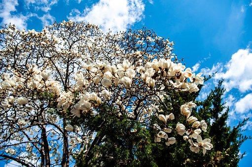 Flowers, Branches, White Flowers, Petals, White Petals