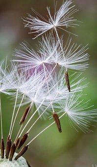 Dandelion, Flower, Petals, Seeds, Flora, Botany, Nature