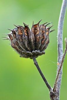 Velvetleaf, Seed Pod, Plant, Seed Head, Seeds, Dry