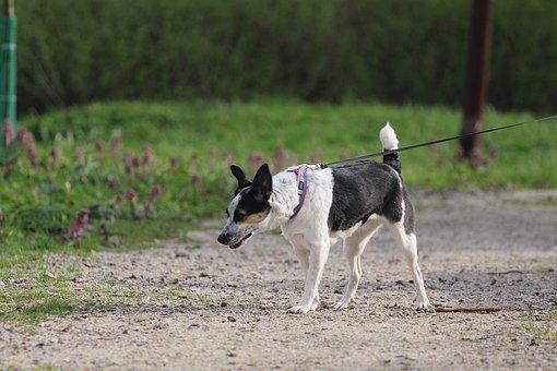 Rat Terrier, Dog, Walk, Walking The Dog, Leash, Collar