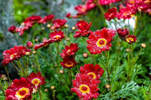 Red Flowers, Dew, Flowers, Dewdrops, Water Droplets