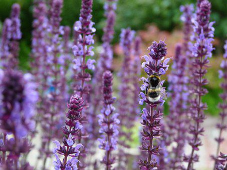 Lavender, Flowers, Plant, Bumblebee, Summer, Nature