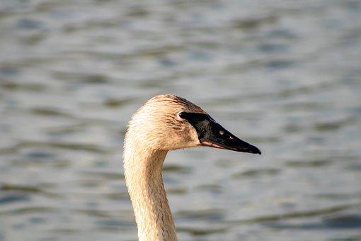Swan, Bird, Head, Beak, White Swan, Swan Head