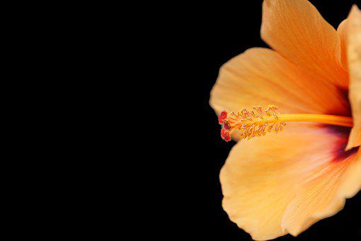 Flower, Hibiscus, Orange, Tropical, Bloom, Blossom