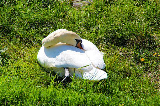 Swan, Grass, White Swan, Bird, Waterfowl, Water Bird