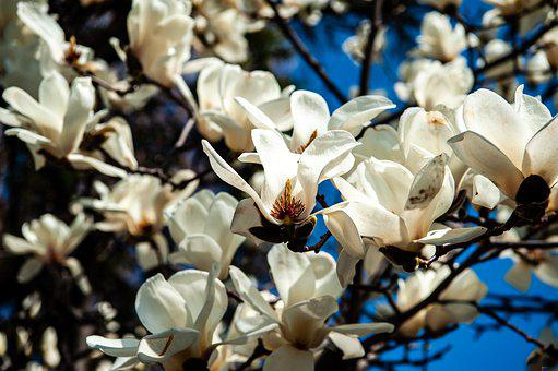 Flowers, Branches, White Flowers, Petals