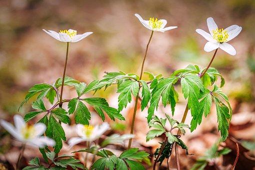 Wood Anemone, Flowers, Plants, White Flowers