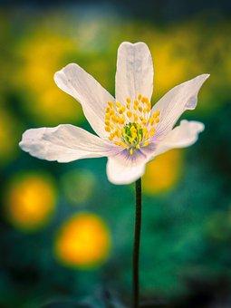 Wood Anemone, Flower, Plant, White Flower